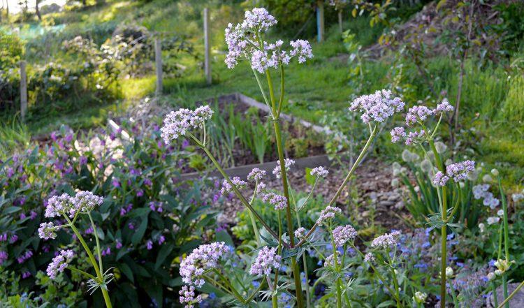 Valerian Plants